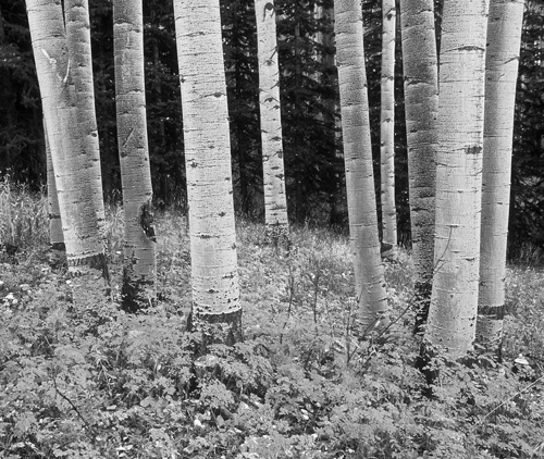 Among the Aspens in Black and White