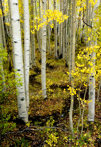 Aspens, Lime Creek Road