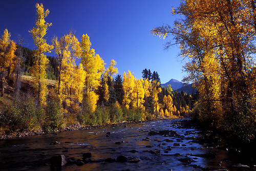 Glowing Cottonwoods Along The Dolores River
