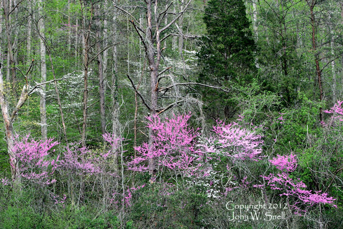 Redbud before Nightfall