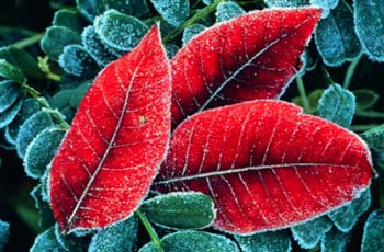 Frosted Sumac Leaves