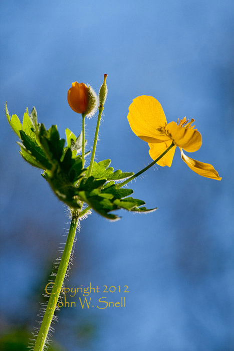 Wood Poppy and Blue Sky
